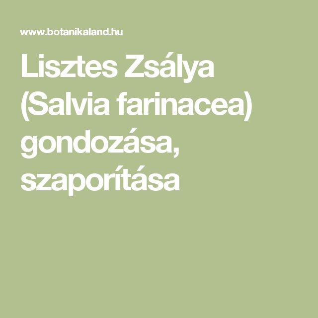 Lisztes Zsálya (Salvia farinacea) gondozása, szaporítása