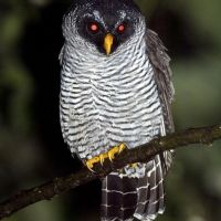 Black-and-white Owl by Murray Cooper