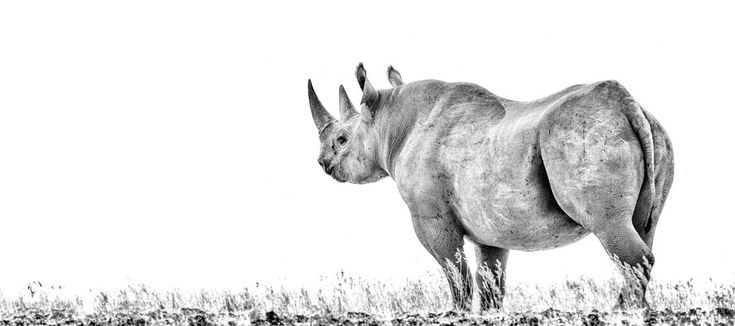 BW print- rare desert adapted black rhino panoramic. Wildlife photography