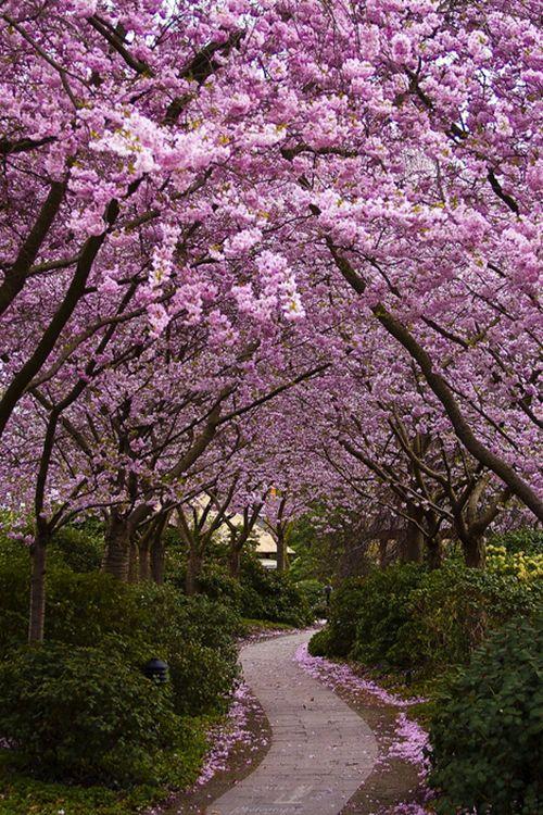 Cherry Blossom, Hamburg, Germany #Hamburg