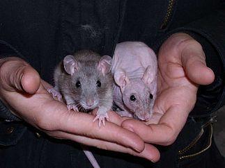 Jolis petits rats domestiques prêt pour adoption! #ratdecouleur #ratnu