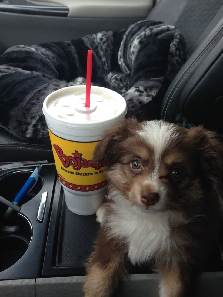 Toy Australian shepherd puppy. Red tri