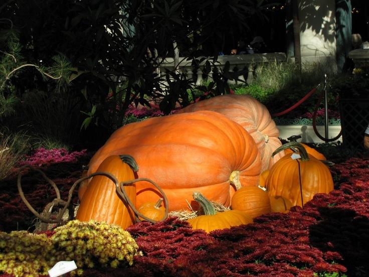 Pumpkin patch in the Bellagio Conservatory-Las Vegas, NV  -JH Photos-
