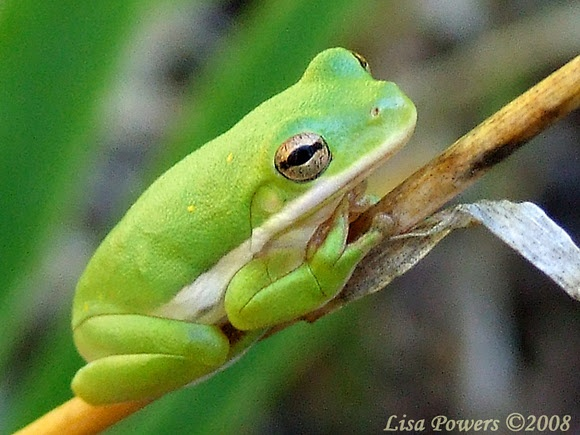 Green Treefrog (Hyla cinerea), spotted by Lisa Powers in Cheatham State Wildlife Management Area, near Sulphur Springs, Tennessee