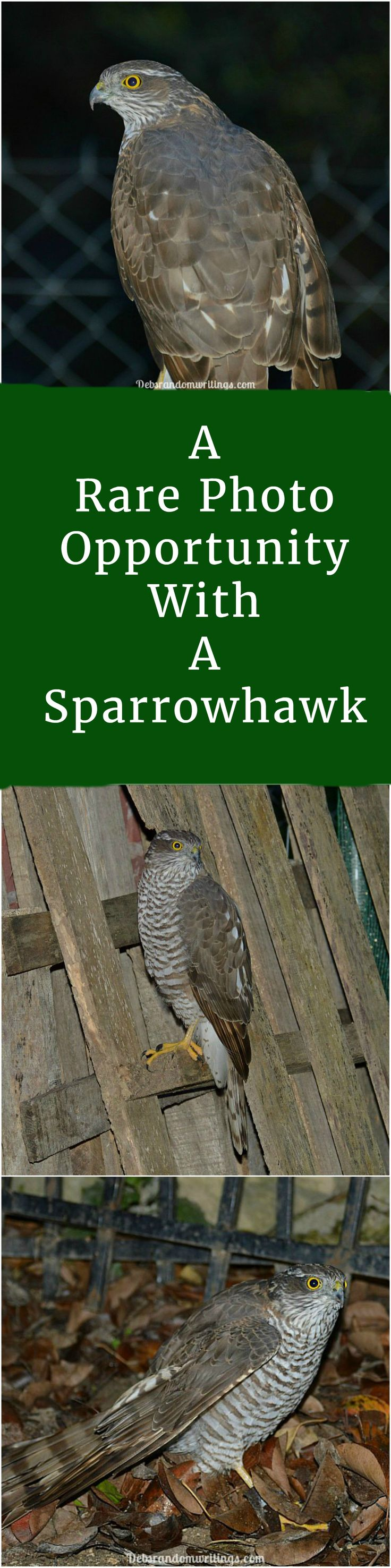 I cannot imagine the opportunity to photograph a sparrowhawk will be a regular thing. So upon finding an injured, but feisty one in the garden I quickly grabbed my camera before it made its getaway.