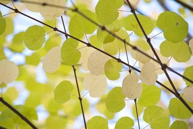 *カツラ  落葉高木  剪定   5月中旬〜3月 (自然樹形が美しいので広い場所なら剪定しない方が良い。大木になるので一般的には枝を間引き剪定する)  肥料   若木の内だけ骨粉、油かす等の有機肥をあたえる(寒肥)