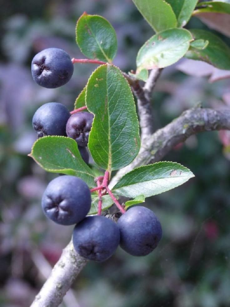 Top 10 Tips on Planting and Growing Aronia Berries (Chokeberries)