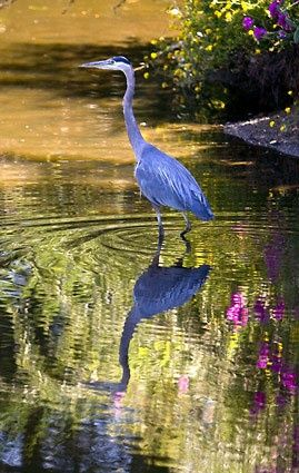 Amazing Snaps: Blue Heron with Reflection