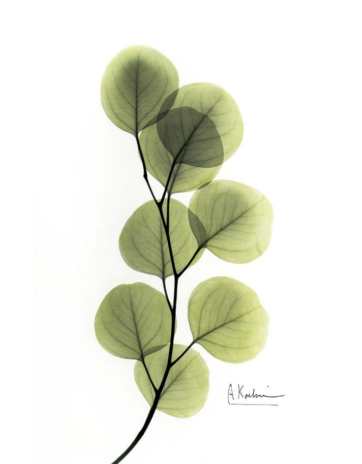 Albert Koetsier - Eucalyptus