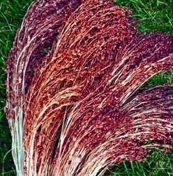 Red Broom Corn Grass 50 Seeds/ 7 Grams - Ornamental