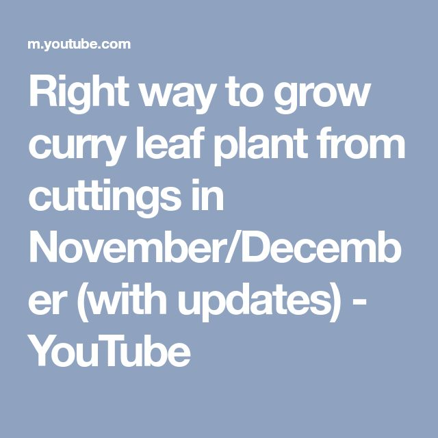 Right way to grow curry leaf plant from cuttings in November/December (with updates) - YouTube