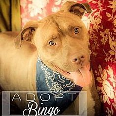 Pictures of Bingo a American Pit Bull Terrier for adoption in New York, NY who needs a loving home.