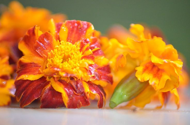 aksamitka to źródło luteiny, kwiat jadalny i przyprawa, nadająca żółty kolor. Jak oszczędzać pieniądze? zbierając zioła zamiast kupować suplementy