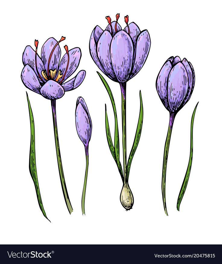 crocus drawing Google Search in 2020 Saffron flower