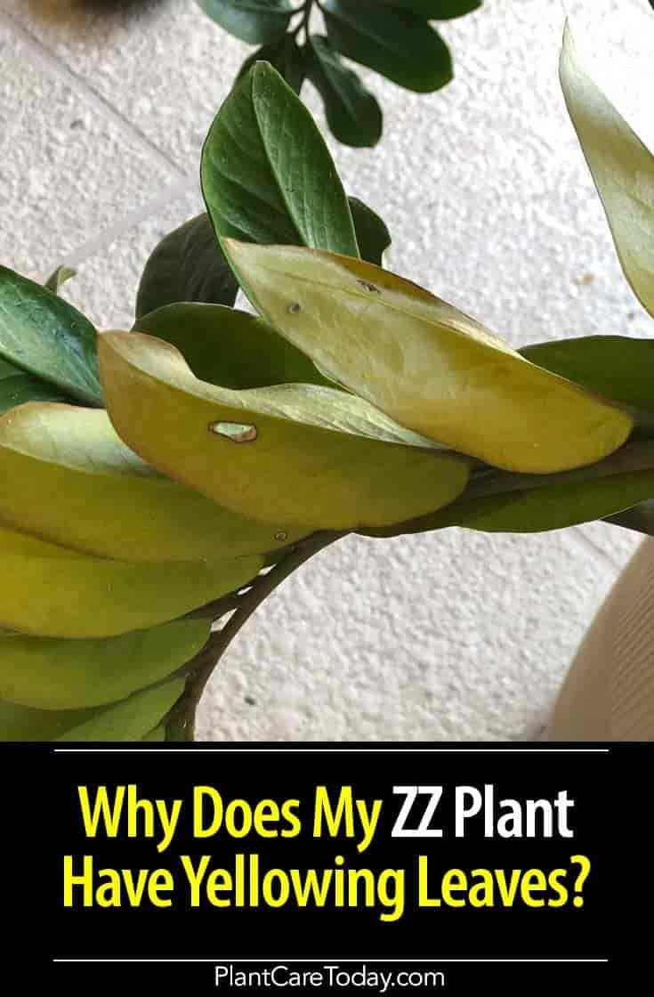 Zz Plant Indoor