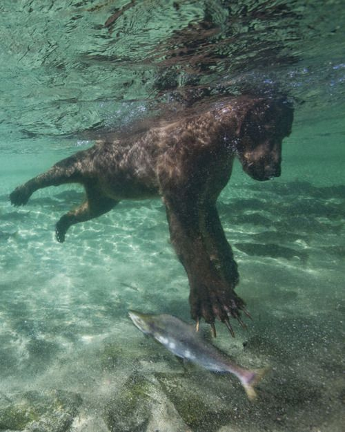 underwater photo - bear catching salmon