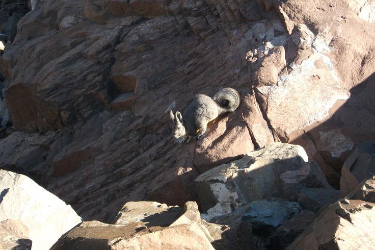 La vizcacha (Lagidium viscacia) es una especie de roedor de la familia Chinchillidae. Se encuentra en el extremo sur del Perú, en la región central de Bolivia, a lo largo de casi todo Chile y en la región occidental de la Argentina.Foto en el sector de vallecito camino al cerro Provincia.