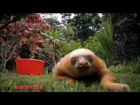 oh my gosh. how do i go about getting me a damn sloth. not very cute with the creepy long arms but they are kind of adorable in a creepy way!