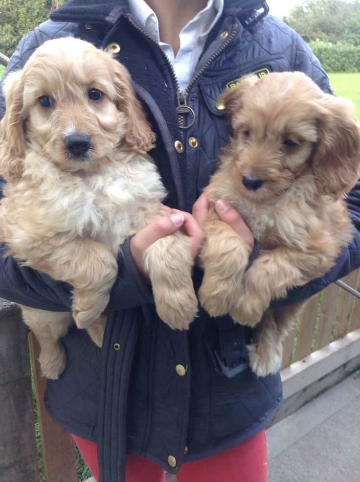 stunning miniature cockapoo puppies | Gillingham, Kent | Pets4Homes