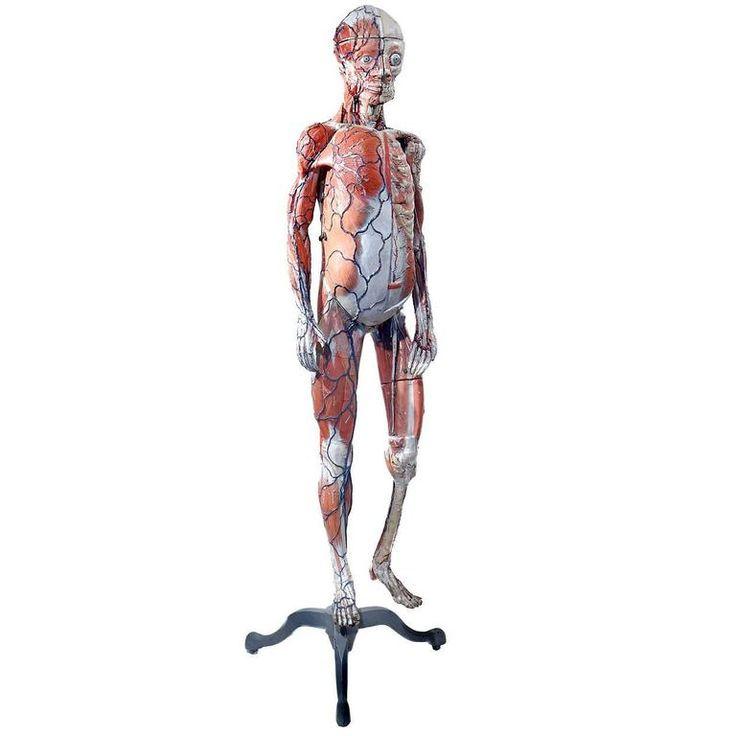 231 besten Anatomical III Bilder auf Pinterest   Anatomie, Kunst ...