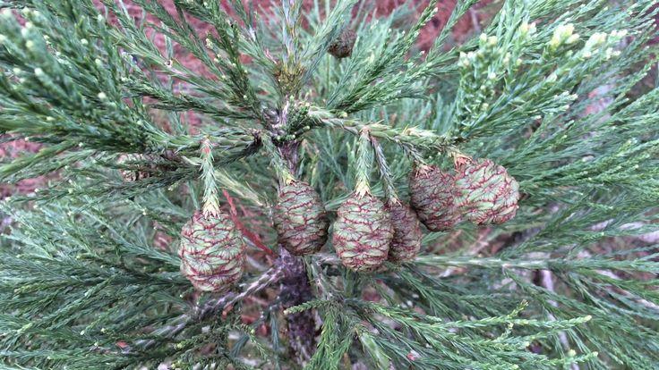 Giant redwood (Sequoiadendron giganteum) - immature female cones - February 2018