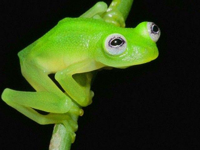 New Frog Species Found in Costa Rica Looks Like Kermit AP