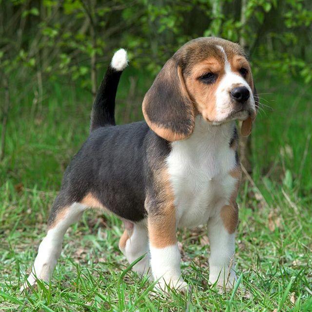 Бигль – описание охотничьей породы, происхождение собаки, темперамент и особенности воспитания. Самая маленькая английская певчая гончая. Фото бигля.