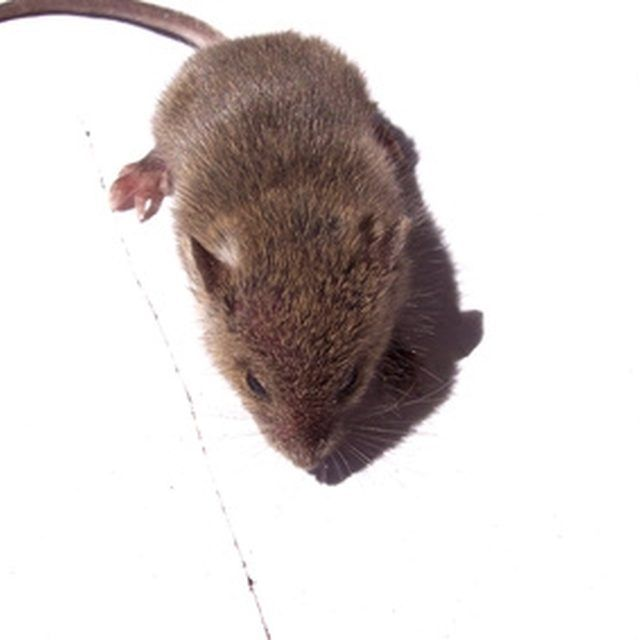Best 25 getting rid of mice ideas on pinterest mice repellent how to get rid of mice that will not go to snap traps with peanut butter or sticky boards ccuart Images