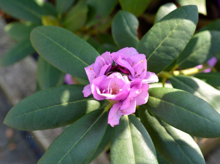 Rododendro Si sta aprendo alla vita