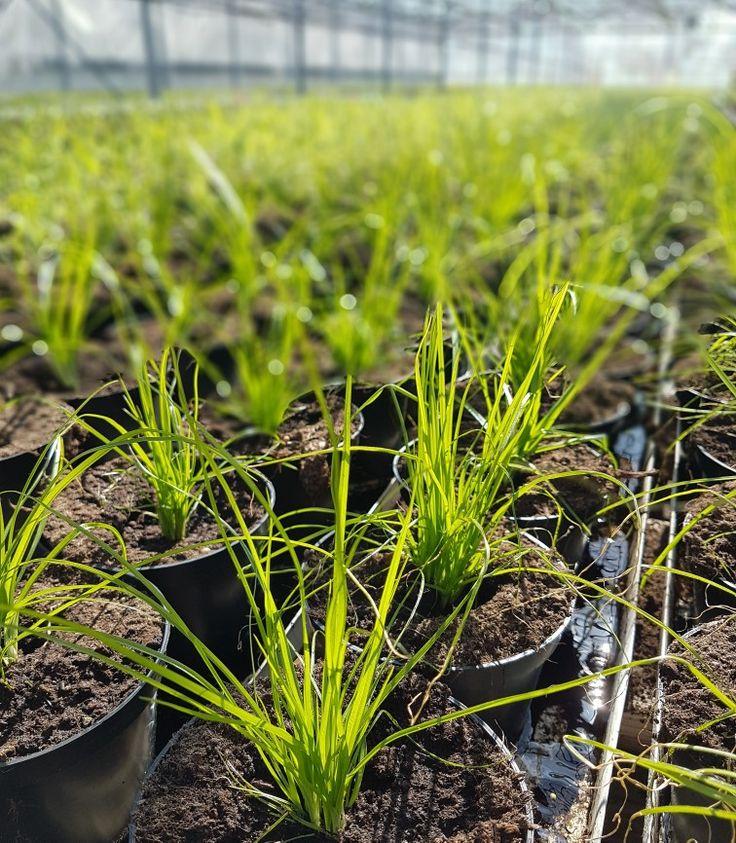Nu växer sommargräset som ogräs i våra växthus! 🌿🌿🌿 #lillahults @lillahultsblommor