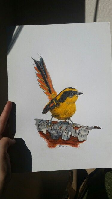 """Rayadito Chilote. Serie """"aves de Chile"""". Artista coté Correa"""