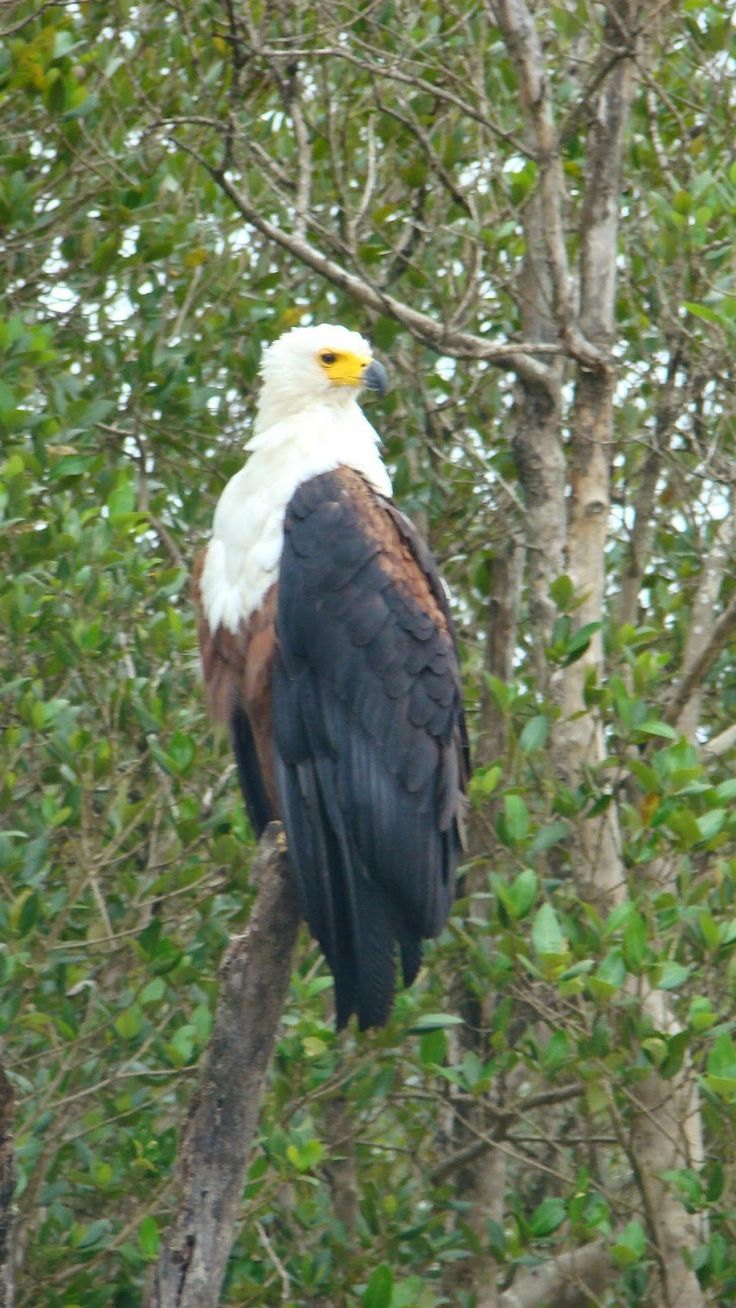 Fish Eagle spotted on a St Lucia wildlife and bird Safari in South Africa.