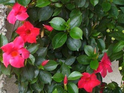 Mandevila - pěstování