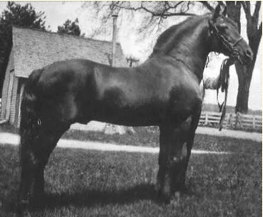 Croydon Prince (Ethan Allen 2nd x Doll) is one of the Lippitt Morgan Foundation sires.  Best known in the Lippitt Morgan world as the sire of Ashbrook (out of Nancy) and of Croydon Mary (out of Kate)
