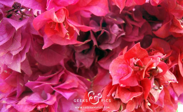 Pink flowers. http://www.geeksandpics.com/