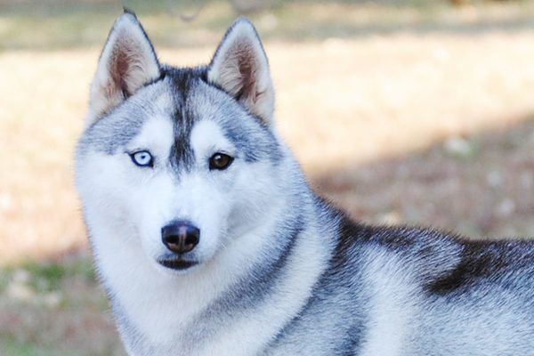 Dogs With Blue Eyes Meet These 6 Dog Breeds Husky With Blue
