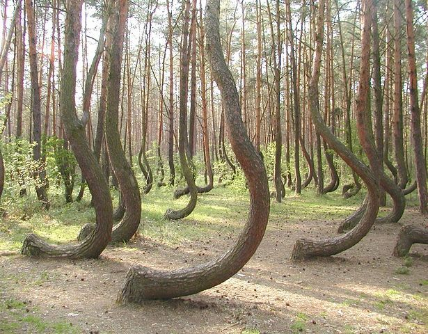 These trees grow in the forest near Gryfino, Poland. The cause of the curvature is unknown.