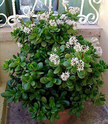 Populaire 25+ trending Crassula ovata ideas on Pinterest   Jade succulent  CG36