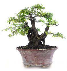 Bonsai Mustam 12-17 Rp 940,000