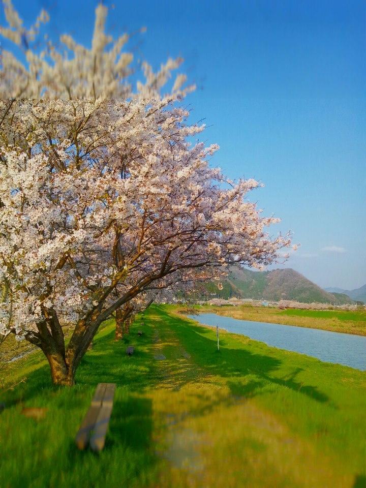 桜並木(2012/4 丹波市山南町金屋)【Tanba Photoclub】 #tanba