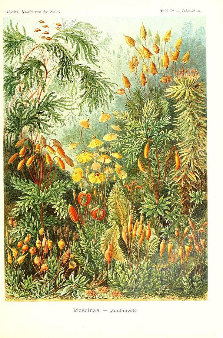 File:Kunstformen der Natur (Tafel 72) (6197326347).jpg