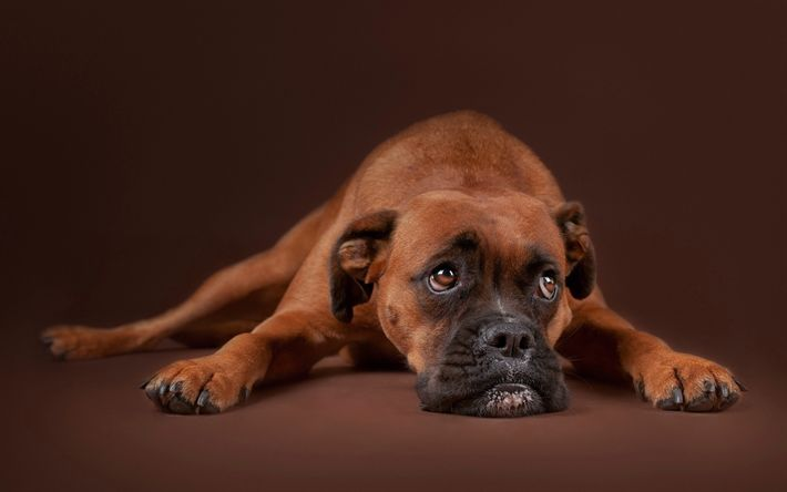 Download wallpapers Boxer, short-haired breed of dog, brown dog, pets, german dogs