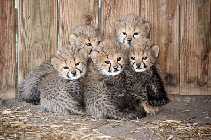 How adorable are these snugly cheetah cubs from the Metro Richmond Zoo?!