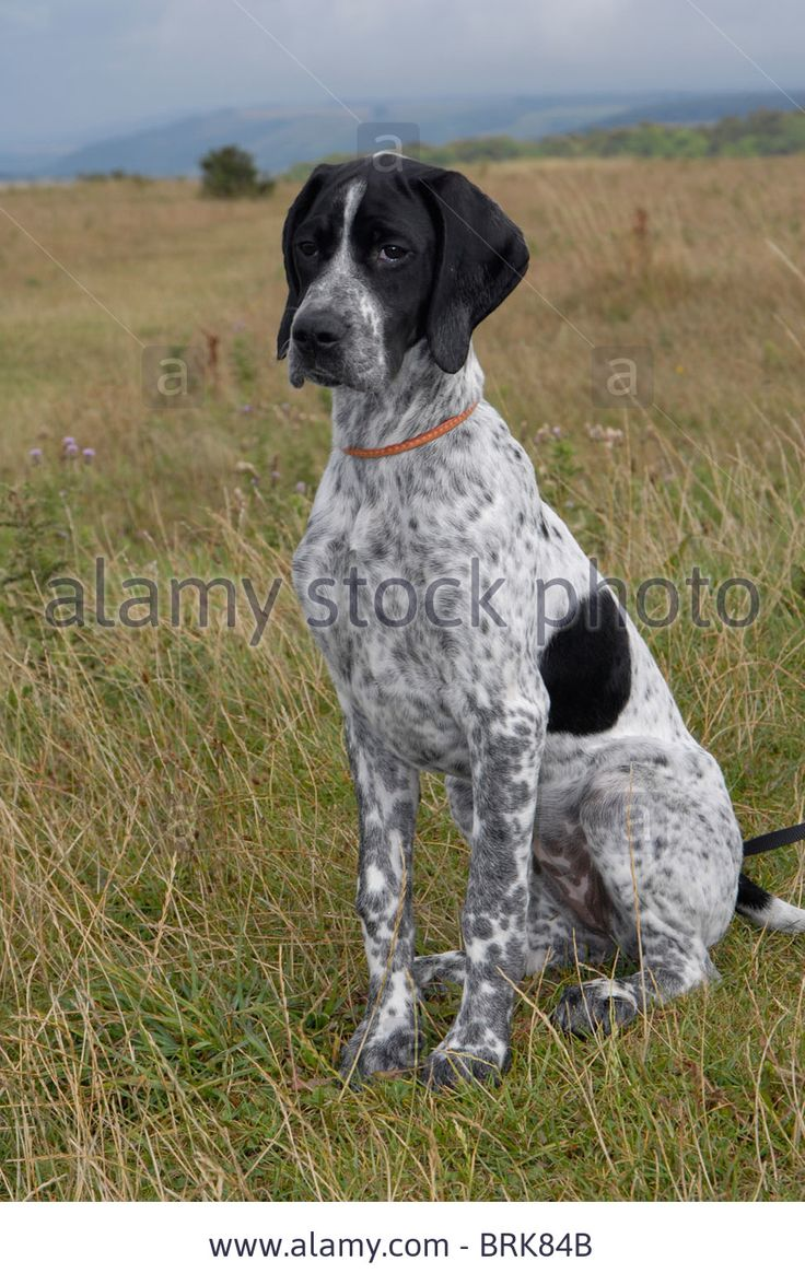 English Pointer Stock Photos & English Pointer Stock Images - Alamy