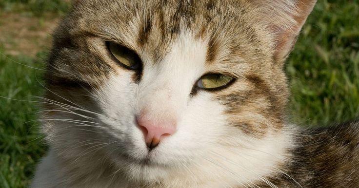 Como fazer uma armadilha para gatos. Há muitas razões para você querer fazer sua própria armadilha para gatos. O seu animal pode ser nervoso ou difícil de lidar e não voltar para casa quando você precisar. Você também pode ter um gato selvagem - ou dois, ou três - perto de sua casa, e quer levá-lo a um veterinário para castrá-lo. As armadilhas caseiras eficazes podem ser feitas de ...