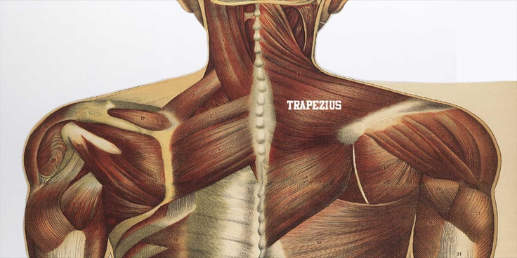 The Trapezius muscle is a trapezoid shaped muscle that is essentially separated into three different sections
