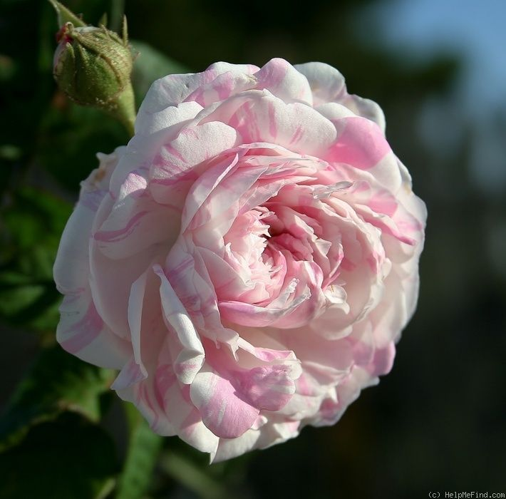 Rosa 'Centifolia Variegata' AKA La Rubanée' (France, 1839)