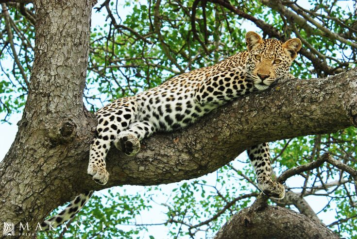 A Leopard overlooking his territory while relaxing high up in a tree.