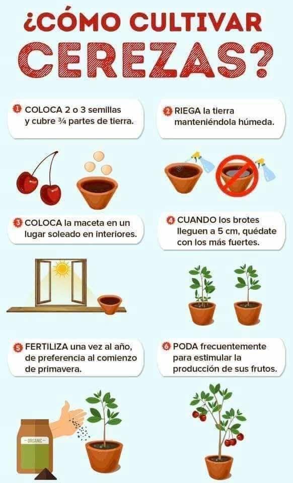 Pin De Andrea Rollano En Cultivo Cultivar Cerezas Cultivo De Plantas Jardín De Productos Comestibles