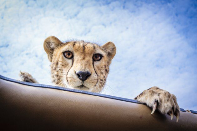 (Photo by Bobby-Jo Clow/CATERS NEWS)  http://gma.yahoo.com/blogs/abc-blogs/unbelievable-photos-peak-boo-playing-cheetah-171528586--abc-news-topstories.html?vp=1
